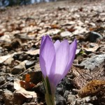 A crocus flower stands alone on a carpet of fallen leaves in a typical fall scene on the mountains of Grevena (very close to the ski resort in Vasilitsa)