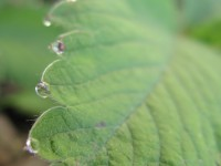 Morning dew on a wild strawberry leaf in Pindus