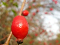 Rose hips in late October at 1.200m altitude close to the village Monodendri in Zagori