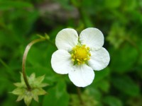 Fragaria vesca, commonly called wild strawberry
