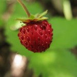 Wild strawberries collected in springtime in the mountains of Epirus