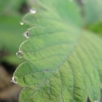 Droplets on a leaf of a wild strawberry plant