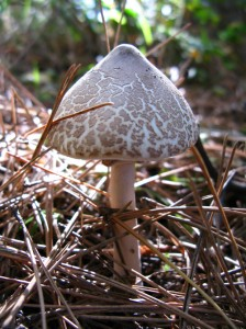 Macrolepiota procera mushroom in the forest in October