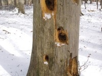 Holes made by bears in search of food, National Park of Pindus