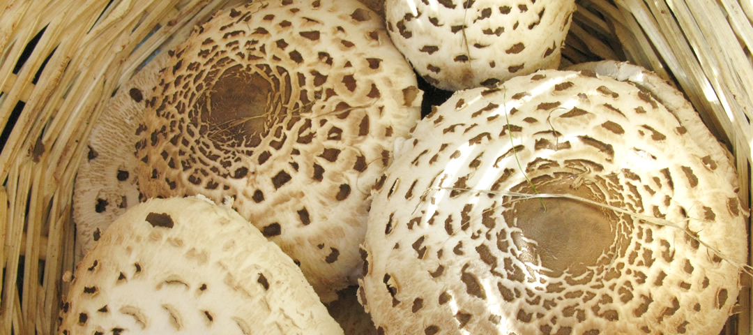 Macrolepiota procera just arrived ...
