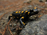 Salamander in the National Park of Pindus in Greece