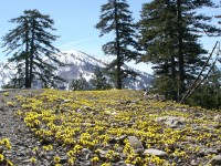 Spring flowers and melting snow summits in Pindus, Northern Greece