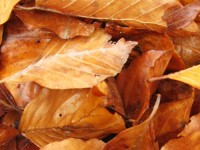 Beech leaves in Pindus Mt. range in Northern Greece during autumn