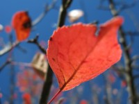 A red crabapple leaf under the blue sky of Epirus in the Zagori region, Northern Greece