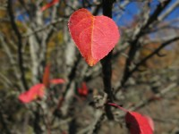 Red crabapple leaves in the forests of Zagori region, Northern Greece
