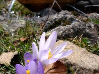 Crocus flower, National Park of Vikos-Aoos, Pindus, Greece