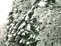 Snow covered fir trees in Central Zagori on the way to Elati and Dikorfo (Dikoryfo) villages on the slopes of Mitsikeli Mountain in Northern Greece