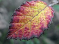 An interesting leaf during fall in Ioannina region, Greece