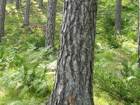 """Pinus nigra is a large coniferous evergreen tree, growing to 20–55 metres (66–180 ft) tall at maturity. The bark is grey to yellow-brown, and is widely split by flaking fissures into scaly plates, becoming increasingly fissured with age. The leaves (""""needles"""") are thinner and more flexible in western populations. It is found in the zone of beech, beech – fir and mountainous para-mediterranean coniferous forests (Fagetalia) in Pindus Ecoregion (Valia-Calda and Vikos-Aoos National Parks in Greece)"""
