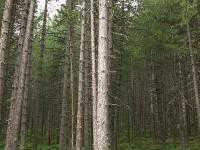 Pinus nigra forest in Valia Calda (or Pindus National Park) National Park in Greece