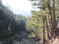 Pinus nigra and Pinus silvestris by the banks of Arkoudorema creek in Valia Calda National Park in Pindus Ecoregion in Greece