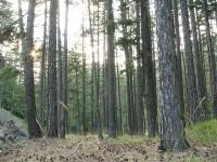Pinus nigra forest in Central Zagori region in Vikos-Aoos National Park in Greece