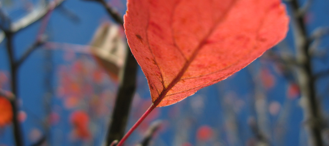A red crabapple leaf under the blue skies of Zagori in fall 2013