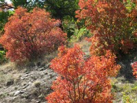 Red, as if on fire, bushes during fall 2013 on the road to Skamnelli village in the Zagori region in Epirus, Greece