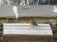 Red robin, the hungry visitor in search of breadcrumbs in the cold days of January in the National Park of Vikos-Aoos