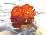 An autumn leaf frozen in the creek that passes by the chapel of Ag. Menas in the Zagoria region in Epirus, Greece