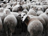 The happy sheep are returning from grazing in the the high altitude fields of the Zagori region
