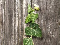 Ivy leaves peeking through a crack of an old traditional wooden door in the village of Dilofo in Central Zagori mountainous region in Greece