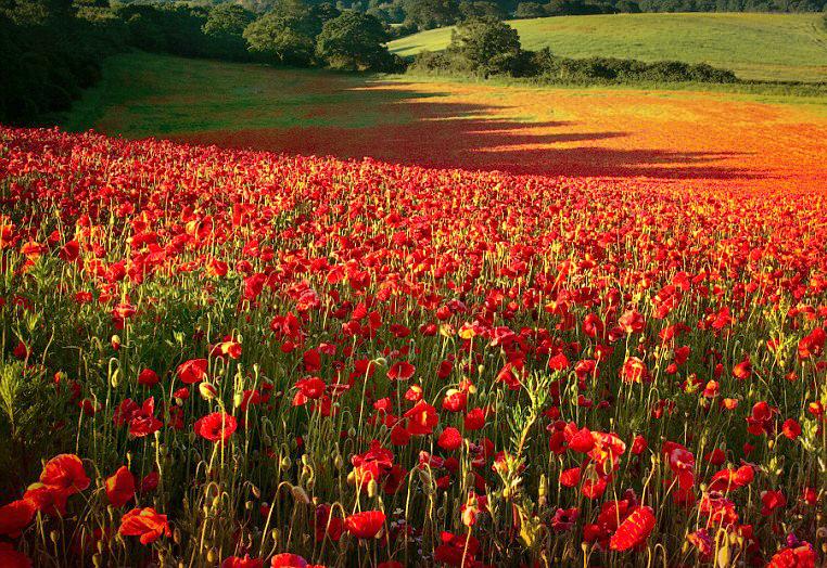 Poppy field, Greece