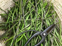 A basket full of wild asparagus. Zagorochoria region, National Park of Pindus, Greece