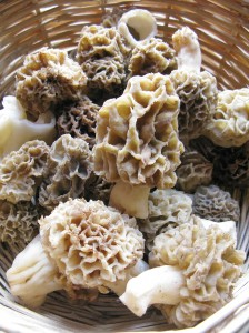 A basket of Morchella esculenta morel picked in Zagori, Greece