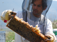The honey producer while harvesting his bee hives`