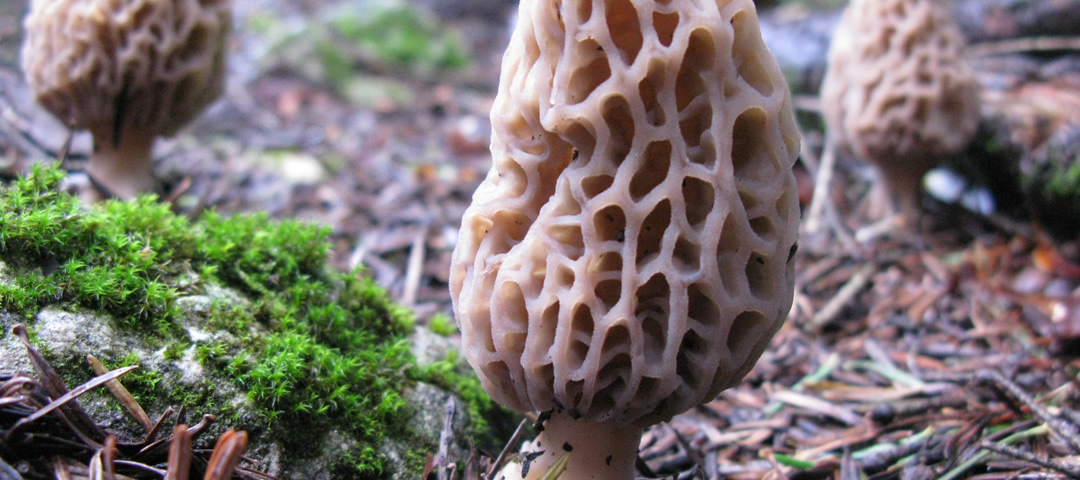 Morchella deliciosa, Zagori, Greece