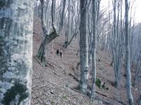 Walking through a beech tree forest