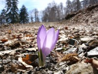 Crocus sprouting from the ground in Valia Kirna, Grevena
