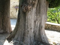 A centuries old cypress tree in the yard iof a skete in Mt. Athos in Greece