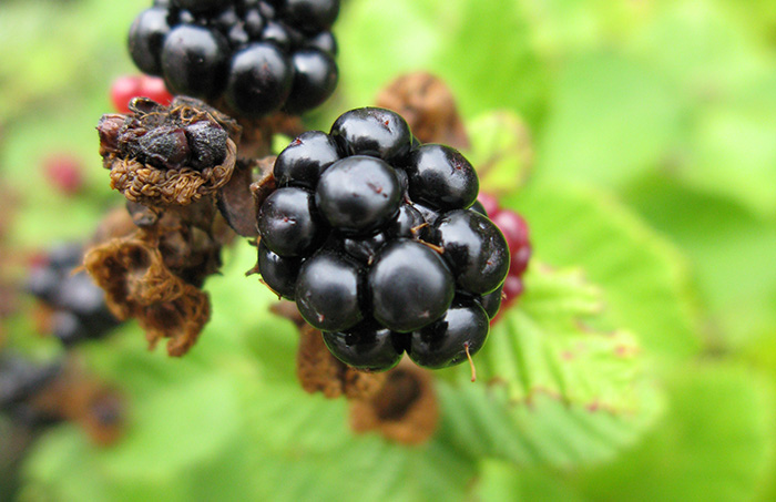 Blackberries in the Zagori region of Epirus
