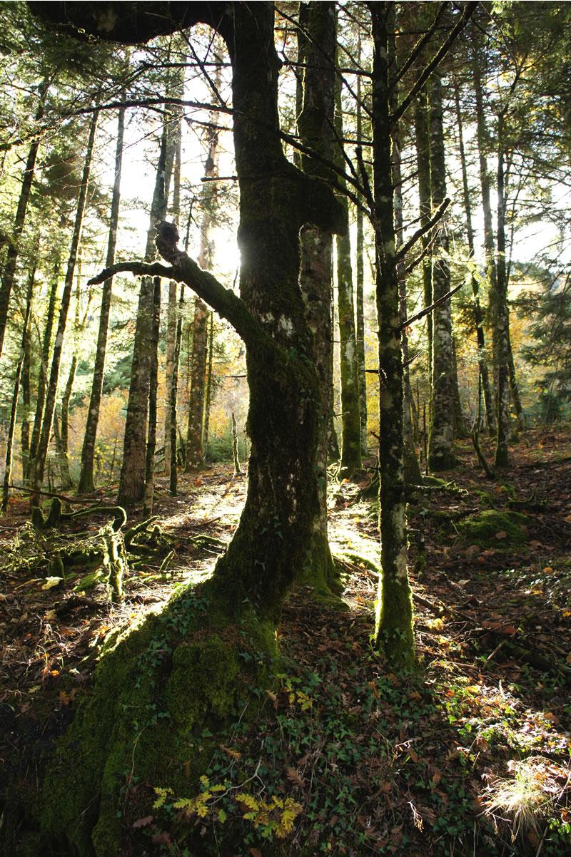 Autumn light through pine trees in Mitsikelli mountain in Zagori