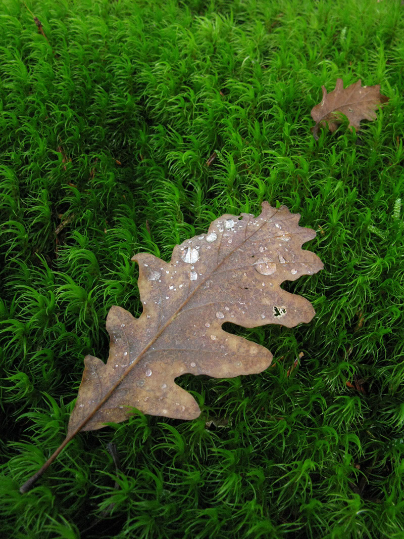 An oak leaf with morning dew lying on a carpet of moss on Mt Mitsikelli in Central Zagori