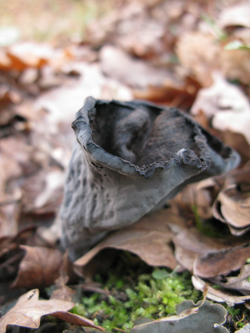 Craterellus cornucopioides, or horn of plenty, is an edible mushroom. It can also be known as the black chanterelle, black trumpet and can be picked during autumn in the forests of the Zagori region