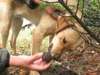 Truffle removed from the mouth of Irma the truffle dog in Zagorochoria