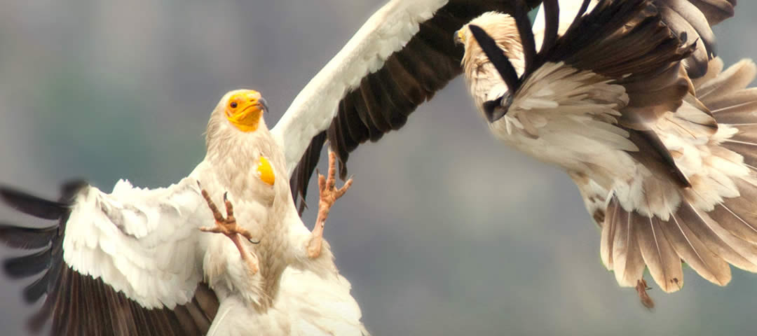 The Egyptian vulture (Neophron percnopterus) is the smallest of the four species of European vultures. Its small size (wingspan of 180 cm (5.9 ft.) and body length of 60 cm (2.2 ft.)) have lead to its other Bulgarian name: 'lesser vulture'. The adults have white plumage with black flight feathers and featherless yellow-orange face. The crest of white, pointed feathers gives the bird its typical appearance. The tail is white and wedge-shaped. The young are dark brown with light feather tips. As they mature the dark juvenile feathers are gradually replaced with the typical white of the adults. The bird reaches adult plumage in its fifth or sixth year. In flight it can be mistaken for a white stork. The differences are the wedge-shaped tail and the short legs and neck.