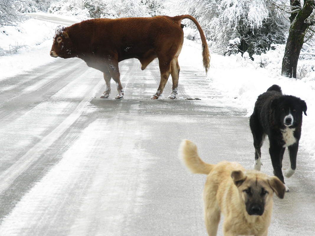 A lonely bull and it's bodyguard shepherd dogs on the road that connects the villages of Elati and Dikorfo with Monodendri and Vitsa