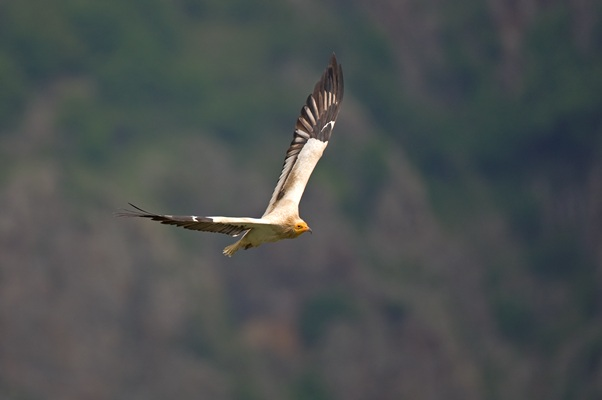 The Egyptian vulture is a typical long-distance migrant. In September both young and adult birds leave the nesting territories of the species and start a long journey towards their wintering places in Africa. They migrate in small groups, mainly over land, avoiding long distances over open sea, although some individuals from the southwestern Balkan population regularly cross the Mediterranean Sea
