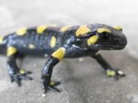 Salamander in Pindus mountain range