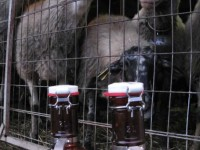 Sheep milk in Pedina valley, Zagorochoria