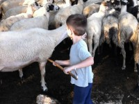 milking the sheep in zagori - ioannina