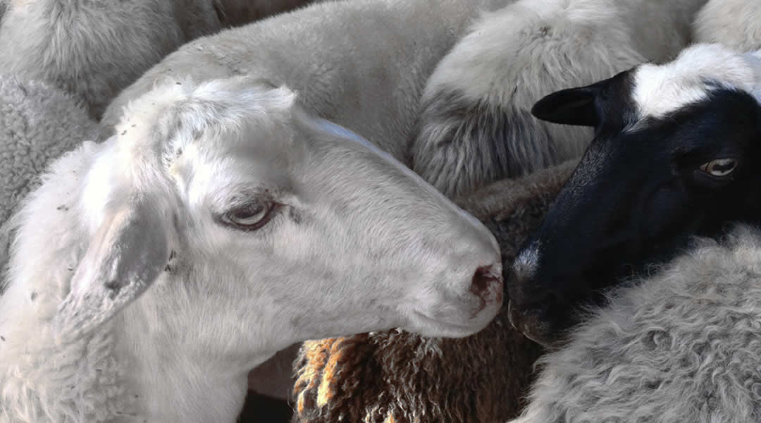 sheep zagori, greece