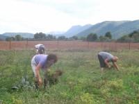Rokka, agrotourism in the Zagori. Collecting chickpeas