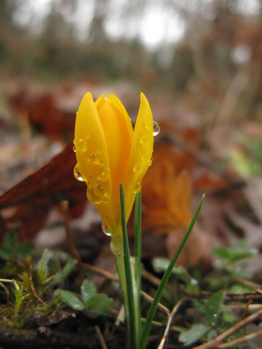yellow crocus heralds early spring in Zagori | Crocus flavus or simply yellow crocus is a species of the Crocus genus belonging to the Iridaceae family. It grows wild on the slopes of Zagori, among other areas in Greece and the Balkans and has fragrant bright orange-yellow flowers. It's size varies between 5–6 cm
