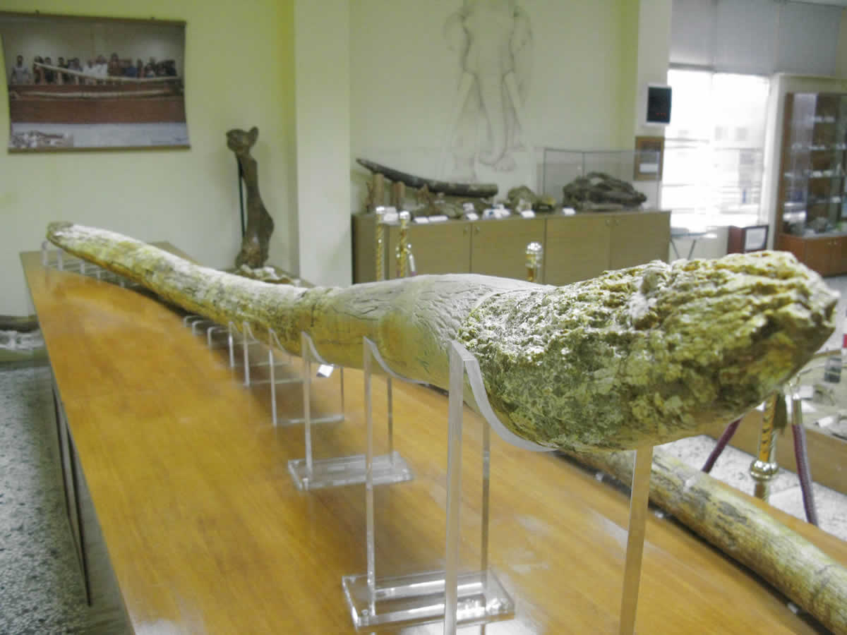 The Guinness Book of Records 5,02m tusk of the Mammut Borsoni found in Grevena in 2007 by Dr. Tsoukala